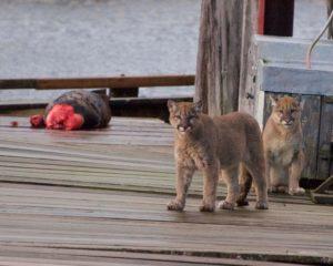 bc cougars