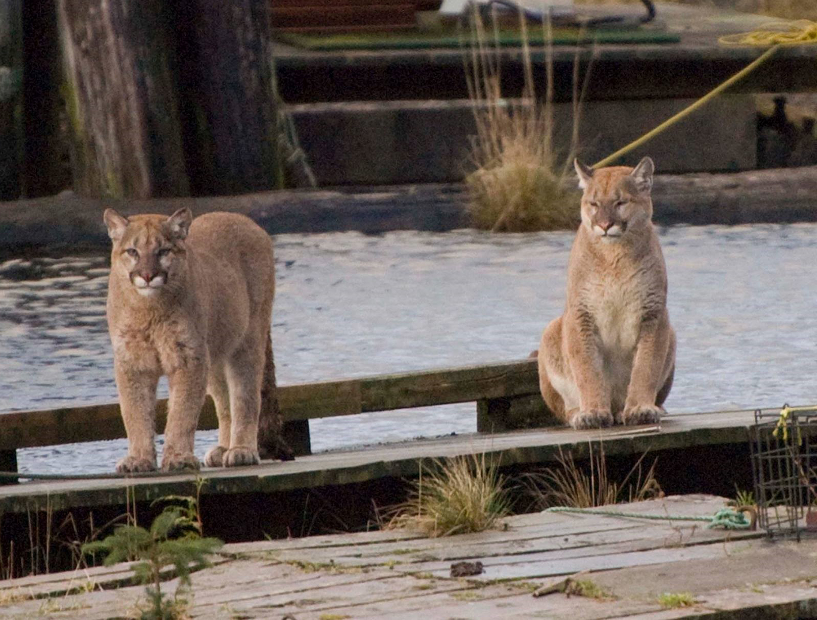 cougar dating victoria bc Bears and cougars are wild, powerful and victoria, bc grizzly bear biology allow a cougar to pick up your scent by keeping the.
