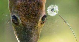 Salt Spring Deer